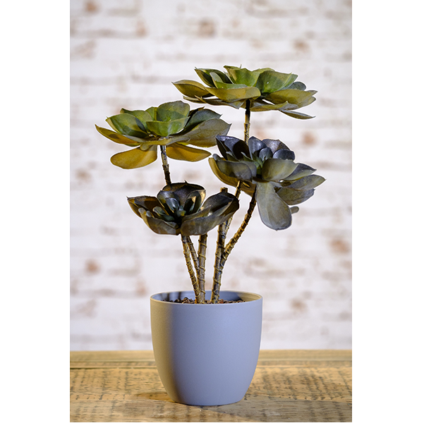 dark-olive-green-echeveria-plant-1